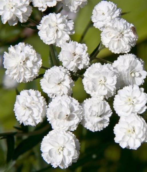 Цветок жемчужница