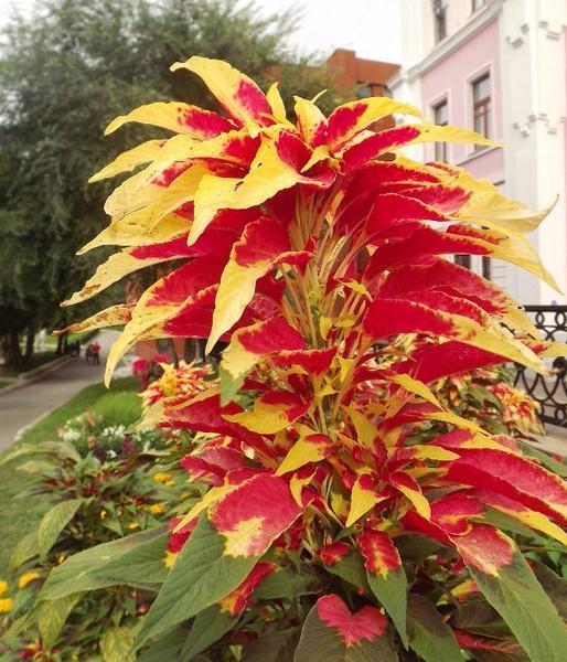 Амарант иллюминация цветов