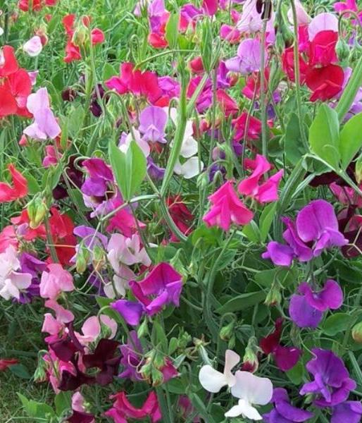 Цветной горошек выращивание 1