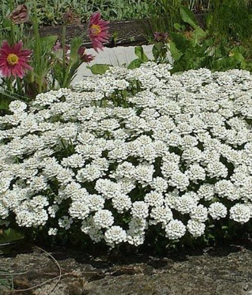 Иберис зонтичный выращивание из семян фото светлячок 62