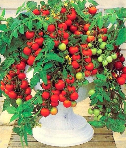 Как посадить в домашних условиях помидоры